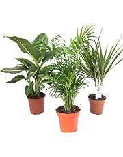 Mélange de Plantes II Set de 3, 1x diefenb achia, 1x Chamaedorea 1x Dracaena marginata, Pot 10–12cm.