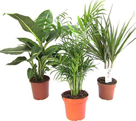 Zimmerpflanzen Set, 1x Diefenbachie, 1x Zimmerpalme und 1x Drachenbaum