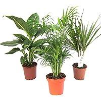 Plantas de Mix II Juego de 3, 1 x diefenb achia, 1 x chama edorea 1 x Dracena marginata, 10 – 12 cm Cazuela.