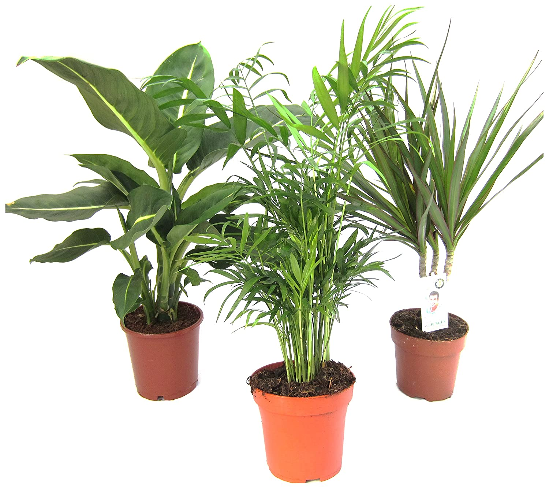 Dominik blumen und pflanzen zimmerpflanzen set aus 1x diefenbachie ebay - Dekorative zimmerpflanzen ...