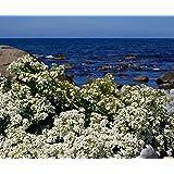 HATCHMATIC 5 seeds Crambe maritima Amkha Seed Seeds for Sea Kale