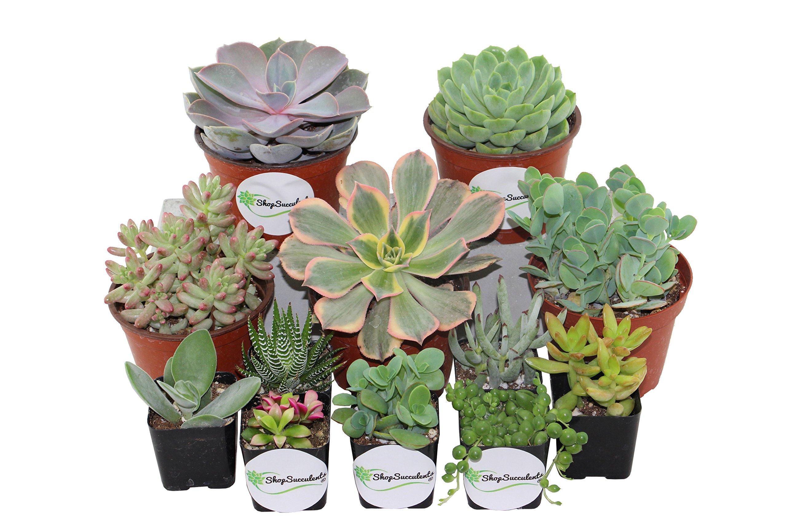 Shop Succulents Assorted Succulents 2'' & 4'' Combo Pack (24, 20x2'' Plants 4x4'' Plants)