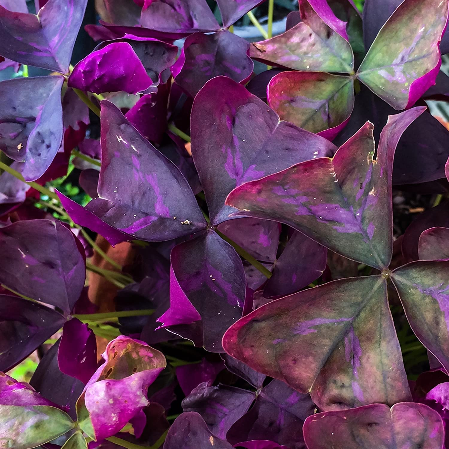 Violet and triangular oxalis (oxalis) - growing and reproduction in indoor conditions