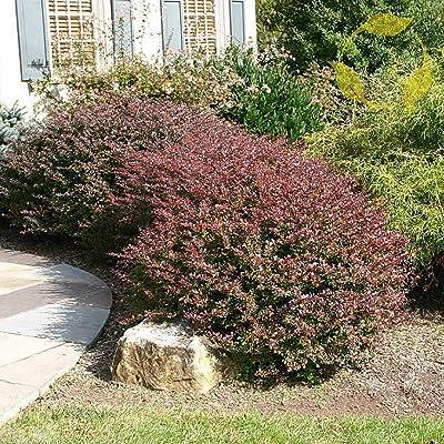 10+ Seeds Japanese Barberry Berberis Thunbergii Atropurpurea : Garden & Outdoor