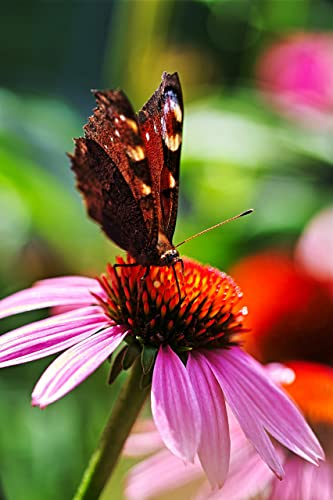 Amazon Com Peacock Butterfly Paper Print Echinacea Professional