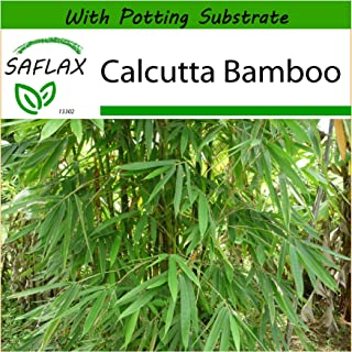 SAFLAX - Calcutta Bamboo - 50 Seeds - with Soil - Dendrocalamus strictus