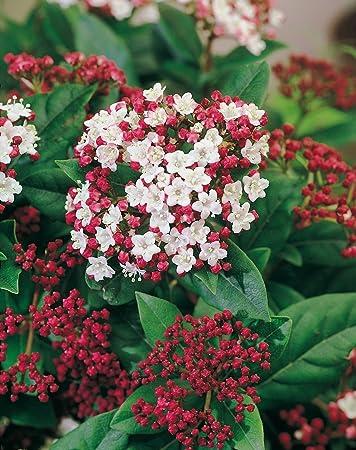 Immergrüner Winterschneeball Gwenllian (viburnum Tinus ... Pflanzen Garten Im Winter