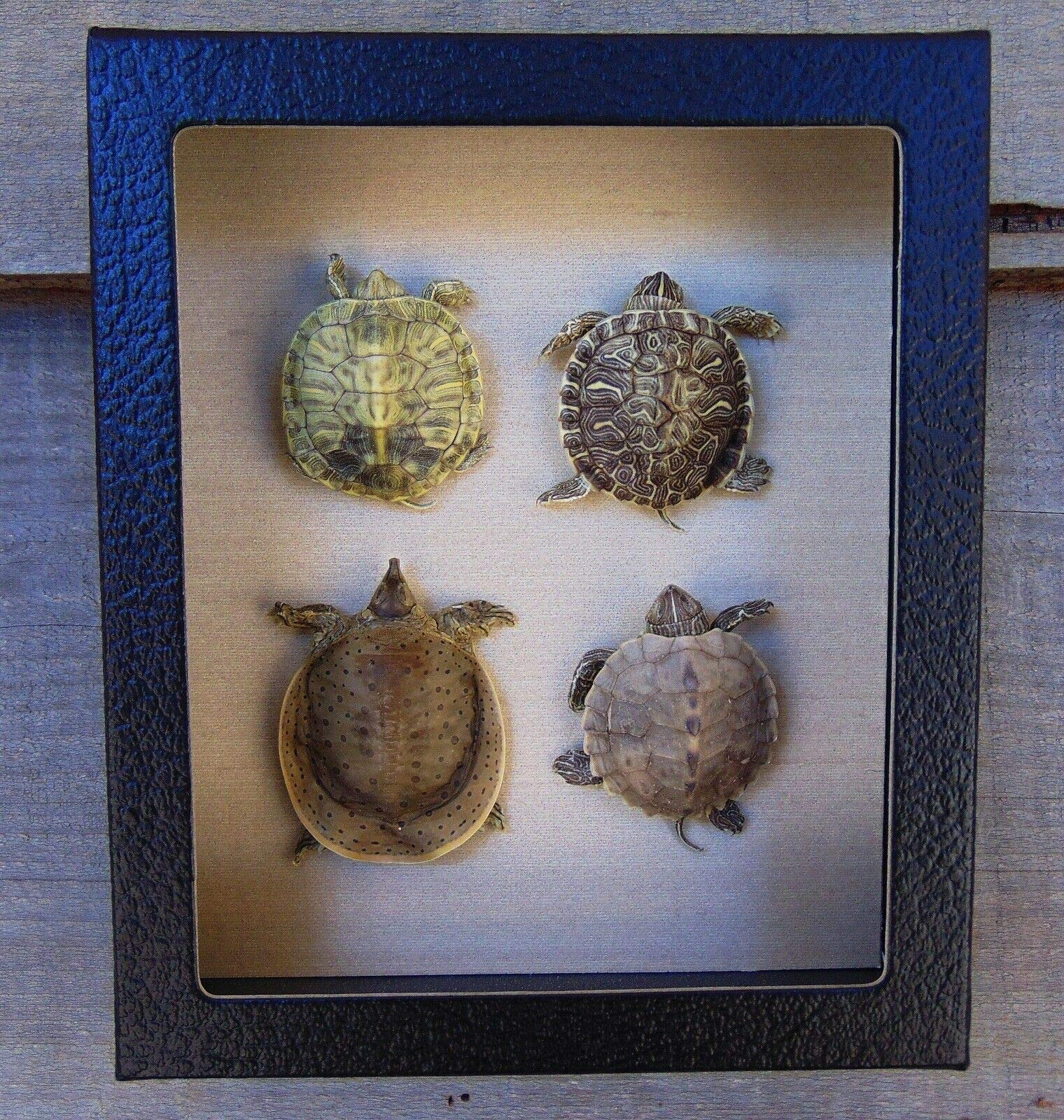 4 Real Taxidermy Framed Mounted Turtle Hatchling Collection Map Softshell