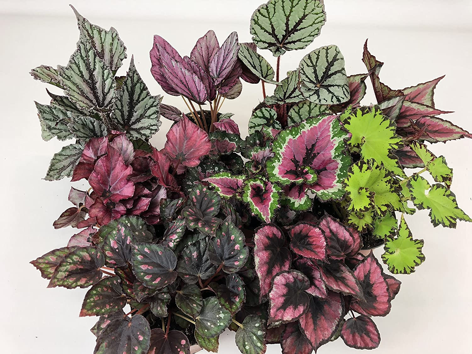 Amazon Com Rex Begonia Variety Pack 4 Plants 4 Pots