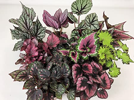 Amazon Com Rex Begonia Variety Pack 4 Plants 4 Pots
