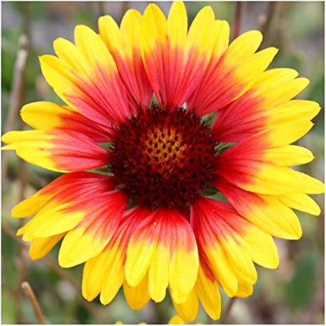 indian blanket flower Amazon.: Seed Needs, Blanket Flower (Gaillardia aristata) 500  indian blanket flower