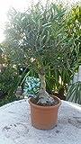 Bonsai Olivenbaum circa 50 cm Olea europaea fino a -6C Ulivo Piante