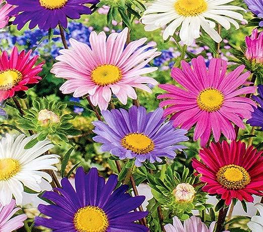 Aster Madeleine Single Flower Variety Mix Seeds Amazon Co Uk Garden Outdoors
