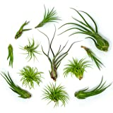 12 Air Plant Variety Pack - Large Tillandsia Terrarium Kit - Assorted Species of Live Air Plants for Sale, 4 to 10 Inches Each - Indoor House Plants by Aquatic Arts