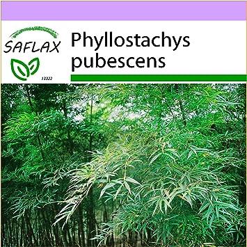 Saflax Graser Bambus Moso Riesenbambus 20 Samen Phyllostachys
