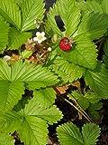 Fragaria vesca - Wald-Erdbeere, 24 Pflanzen im 5/6 cm Topf