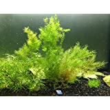 Live Hornwort Plant - 2 Extra Large Bunches of Pond Plants by Aquatic Arts - Over 10 Stems