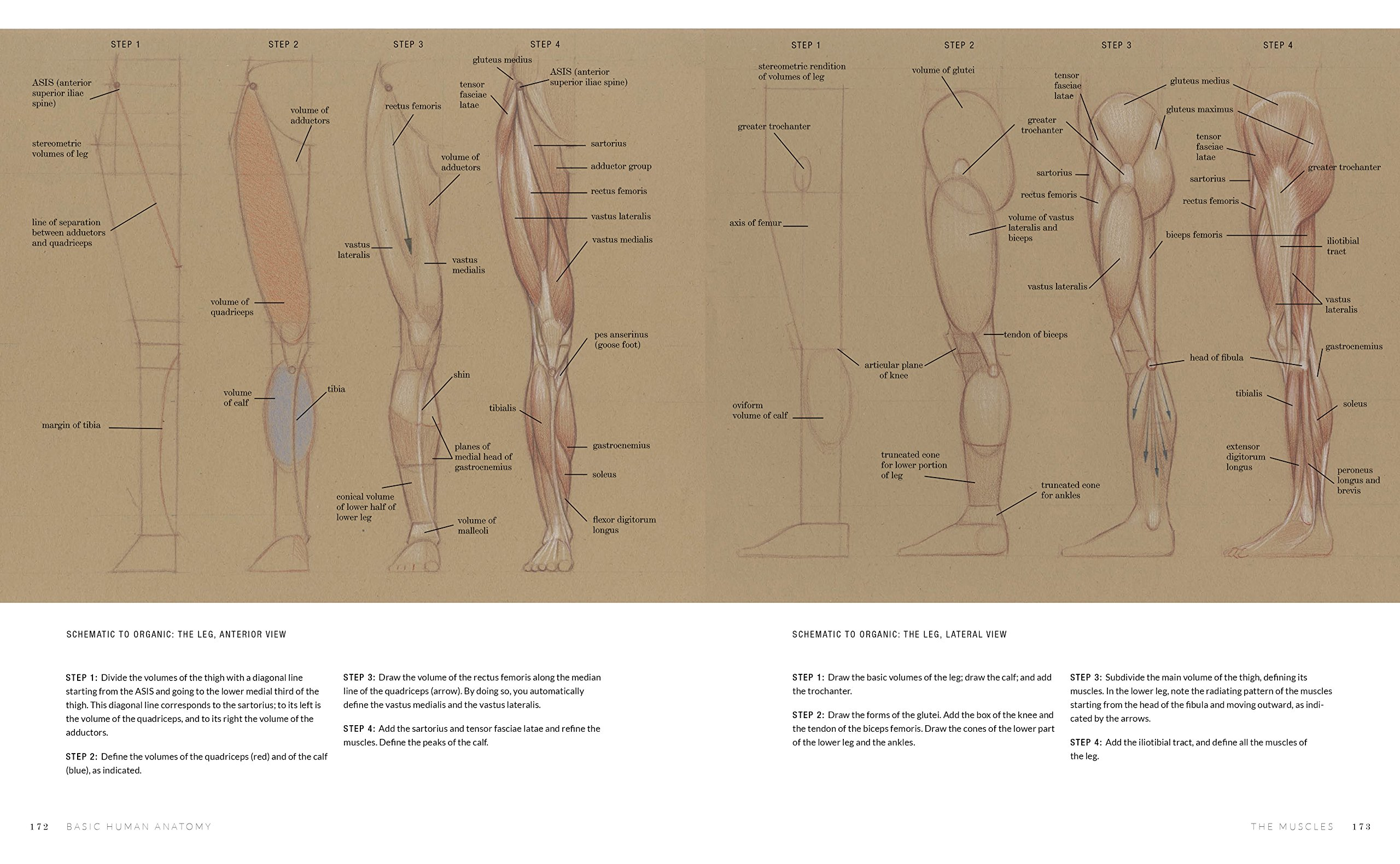 Basic Human Anatomy An Essential Visual Guide For Artists Roberto