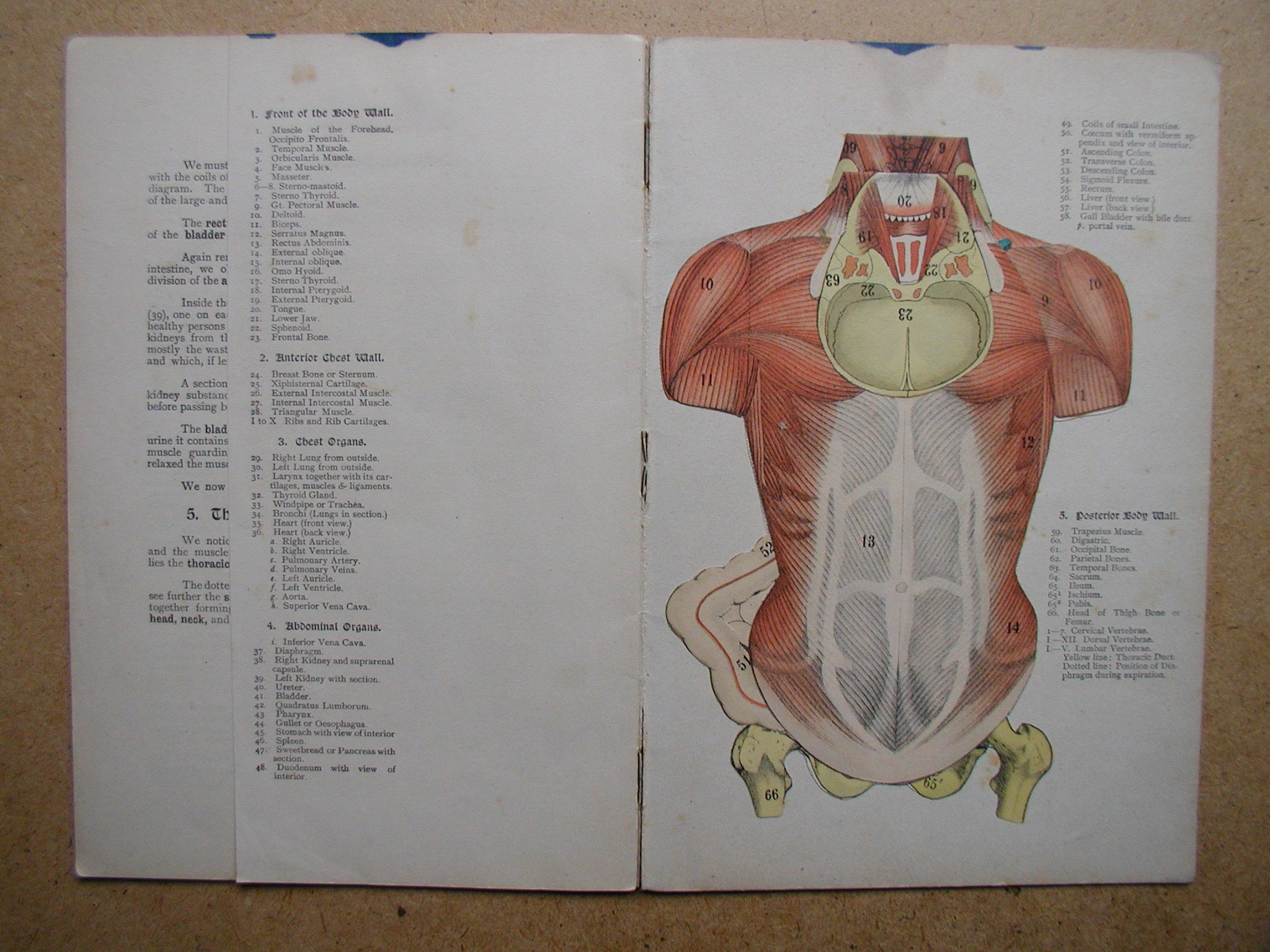 The Human Body A Short Account Of The Anatomical Arrangement