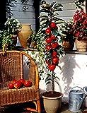 """Dominik Blumen und Pflanzen, Säulenapfel, Apfelbaum""""Rotbäckchen"""" (auch""""McIntosh""""), 1 Pflanze, ca. 60-80 cm Stamm, 5-7 Liter Container, plus 1 Paar Handschuhe gratis"""