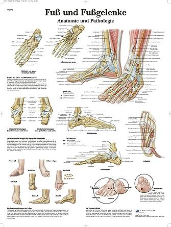 3B Scientific Lehrtafel laminiert - Fuß und Fußgelenke - Anatomie ...