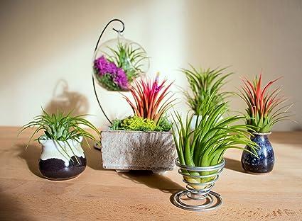 Amazon Com 6 Lowlight Air Plant Pack Live Low Light Plants