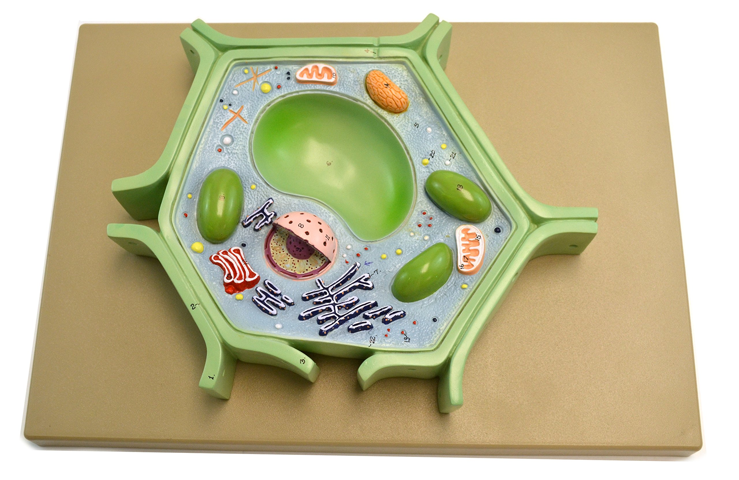 Eisco Labs Plant Cell Model on base; 11.5'' X 10'' X 2''