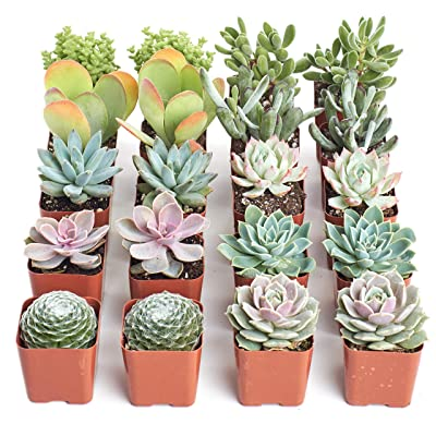 Shop Succulents | Premium Pastel Live Plants, Hand Selected Variety Pack of Mini Succulents | Collection of 20, : Garden & Outdoor