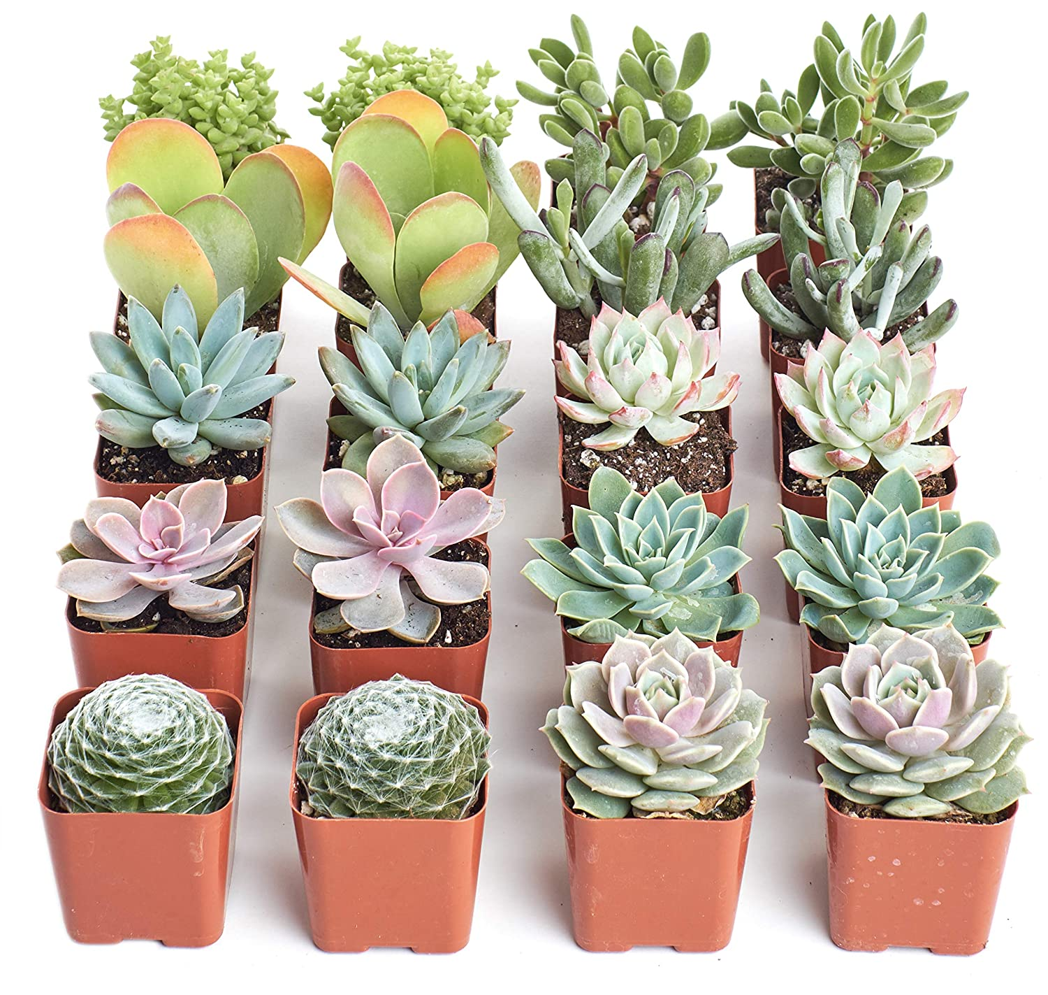 Hand Selected Variety Pack of Mini Succulents Premium Pastel Collection of Live Succulent Plants Collection of 4 Shop Succulents