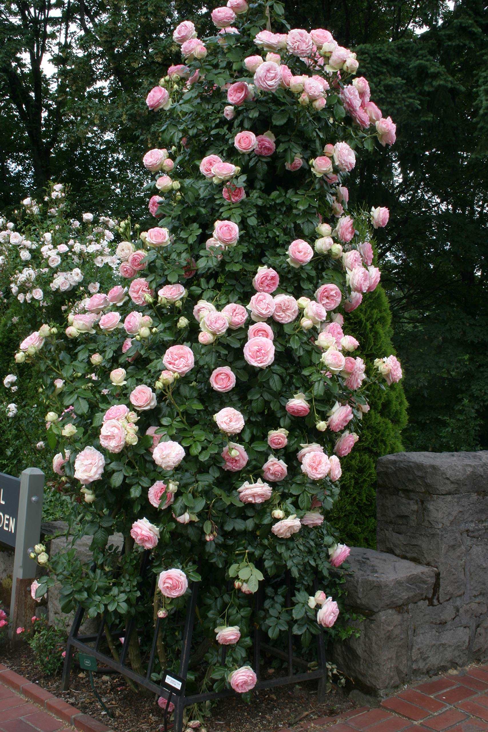 2-Pack Own-Root One Gallon Eden Climbing Roses by Heirloom Roses by Heirloom Roses (Image #3)