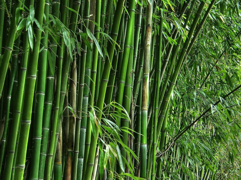 protezione post-vendita 100 semi di Fresh Moso Bambù  Semi Phyllostachys Phyllostachys Phyllostachys pubescens giganti  ordina ora i prezzi più bassi