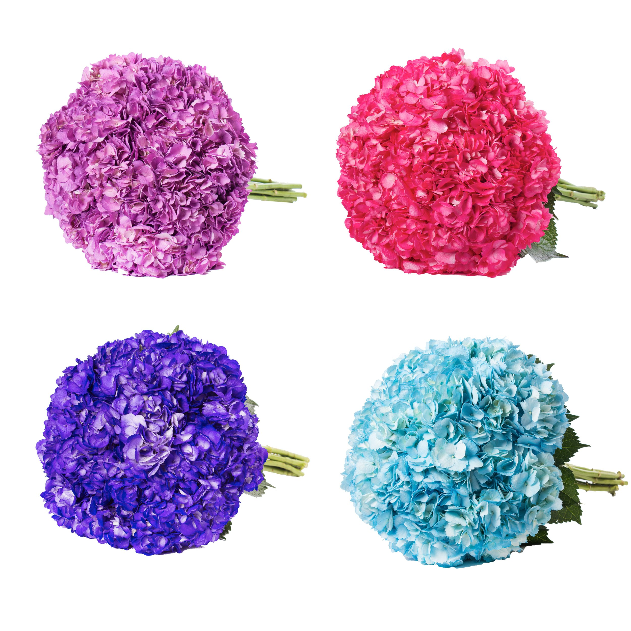 Farm Fresh Natural Painted Assorted Hydrangea - Pack 26