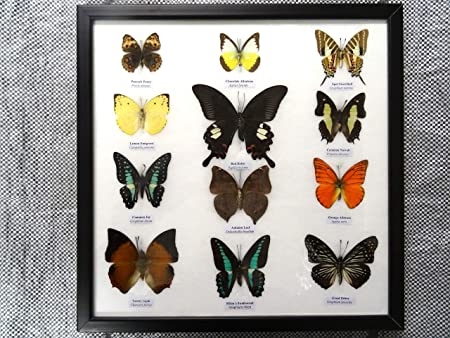 ThaiUK 12 Framed Butterflies Genuine Specimens: Amazon.co.uk ...