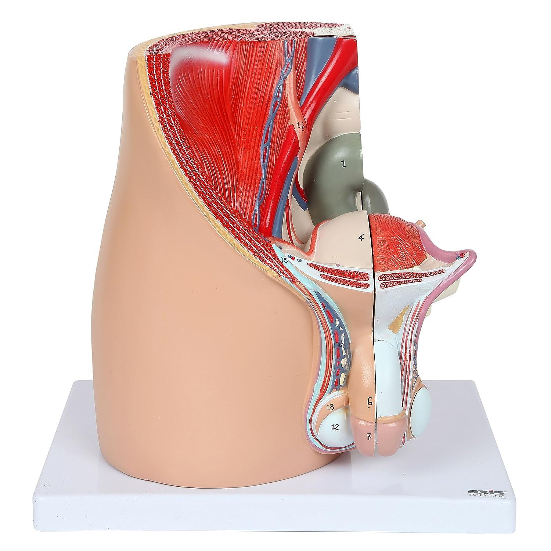 Axis Scientific Male Pelvis Model Male Reproductive System Model