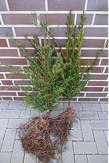 10 Eiben 50-80cm frisch vom Feld Gartenhecke Heckenpflanzen Immergr/üne Pflanze Taxus baccata Eiben