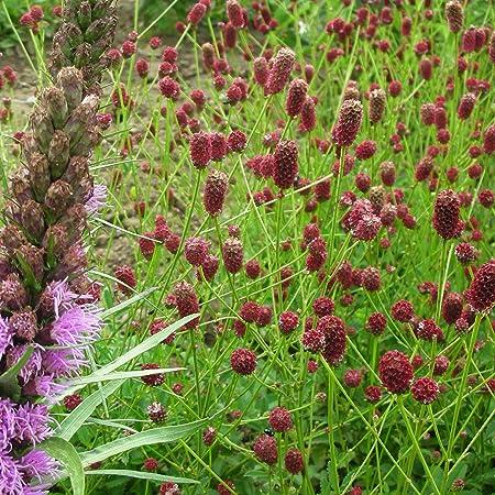 Blumixx Stauden Sanguisorba Officinalis Pink Tanna Purpur Wiesenknopf Im 0 5 Liter Topf Schwarzrot Bluhend Amazon De Garten