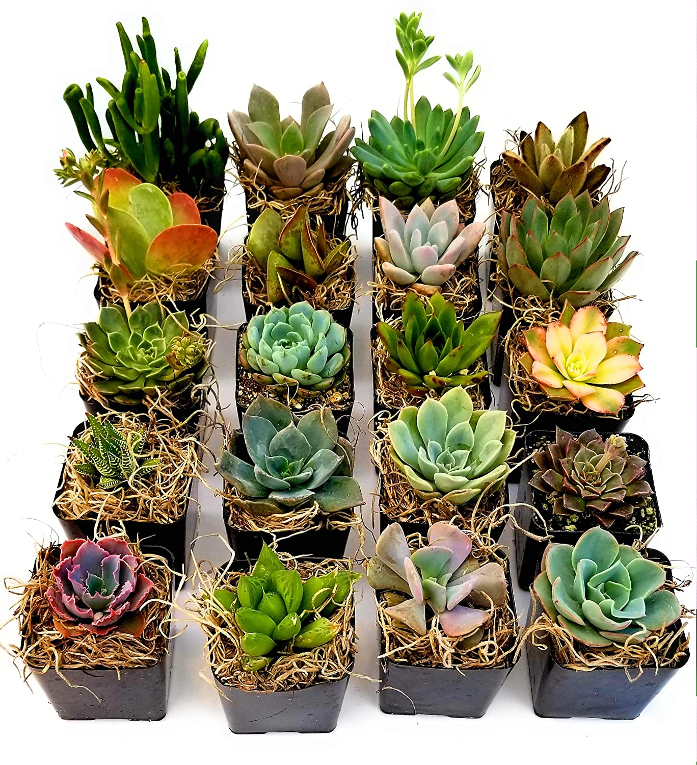Amazon Com Fat Plants San Diego Miniature Living Succulent