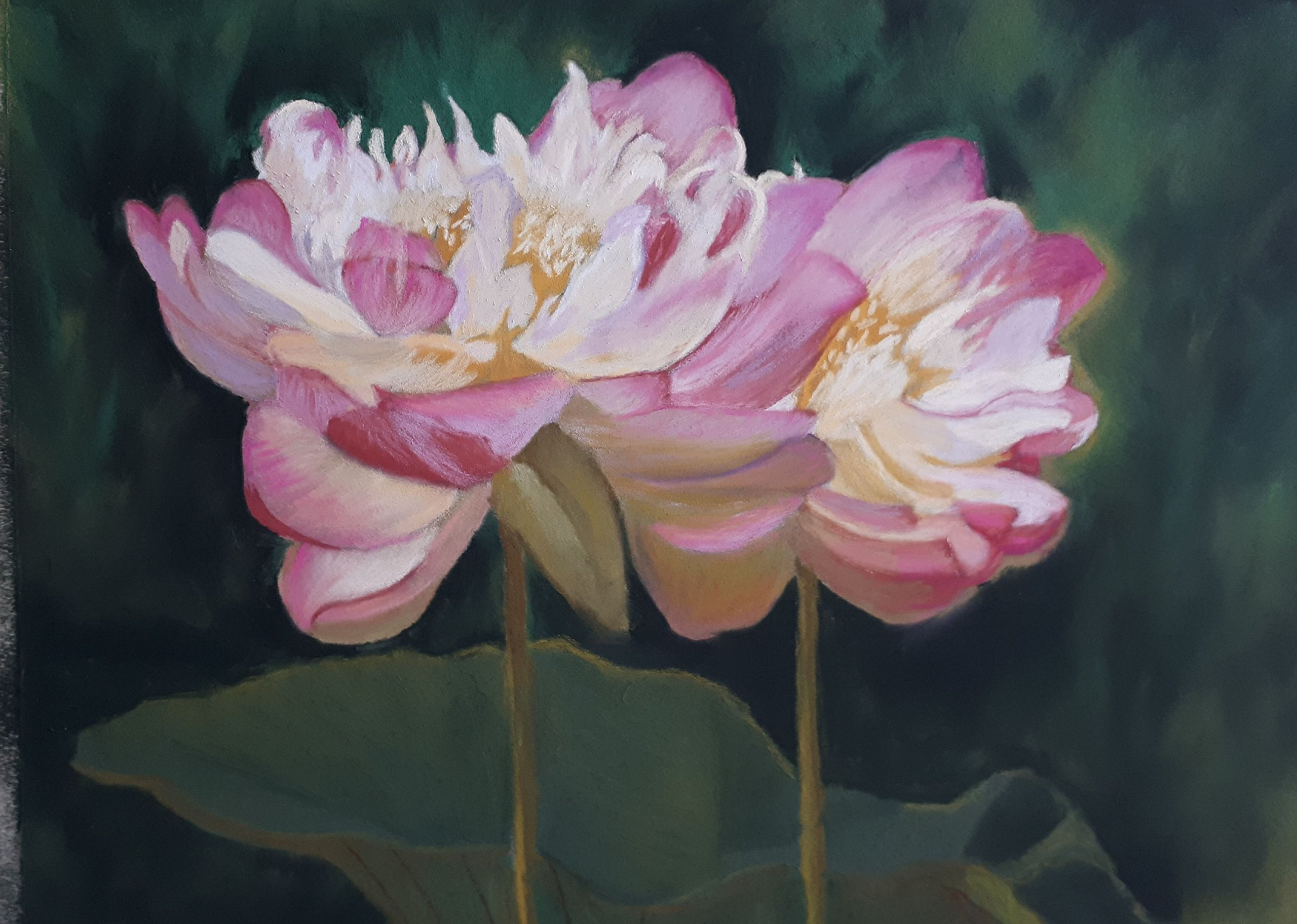Lotus Flowers at the Montreal Botanical Gardens by