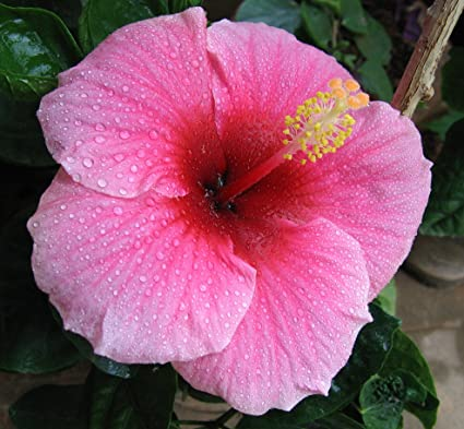 Nelesa Gardening Live Pink Hibiscus Plant Amazonin Garden Outdoors