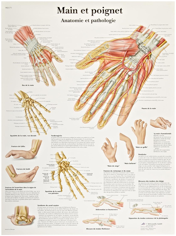 3b Scientific Vr1171l Glossy Laminated Paper Hand And Wrist Anatomy