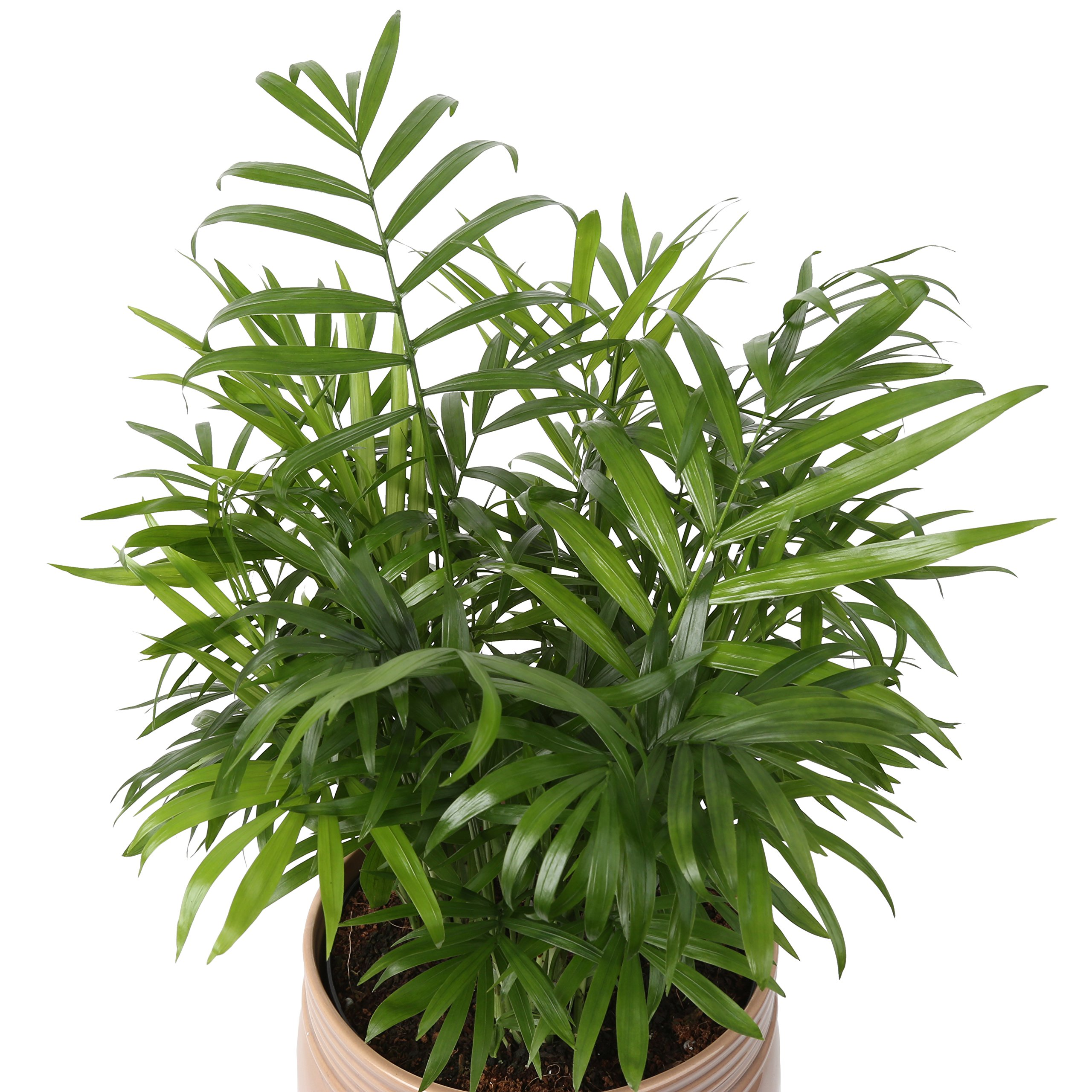 Costa Farms Neanthe Bella Parlor Palm, Live Indoor Tabletop Plant in Home Decor 6-inch Mason Jar Ceramic, Great for Gifts by Costa Farms (Image #2)