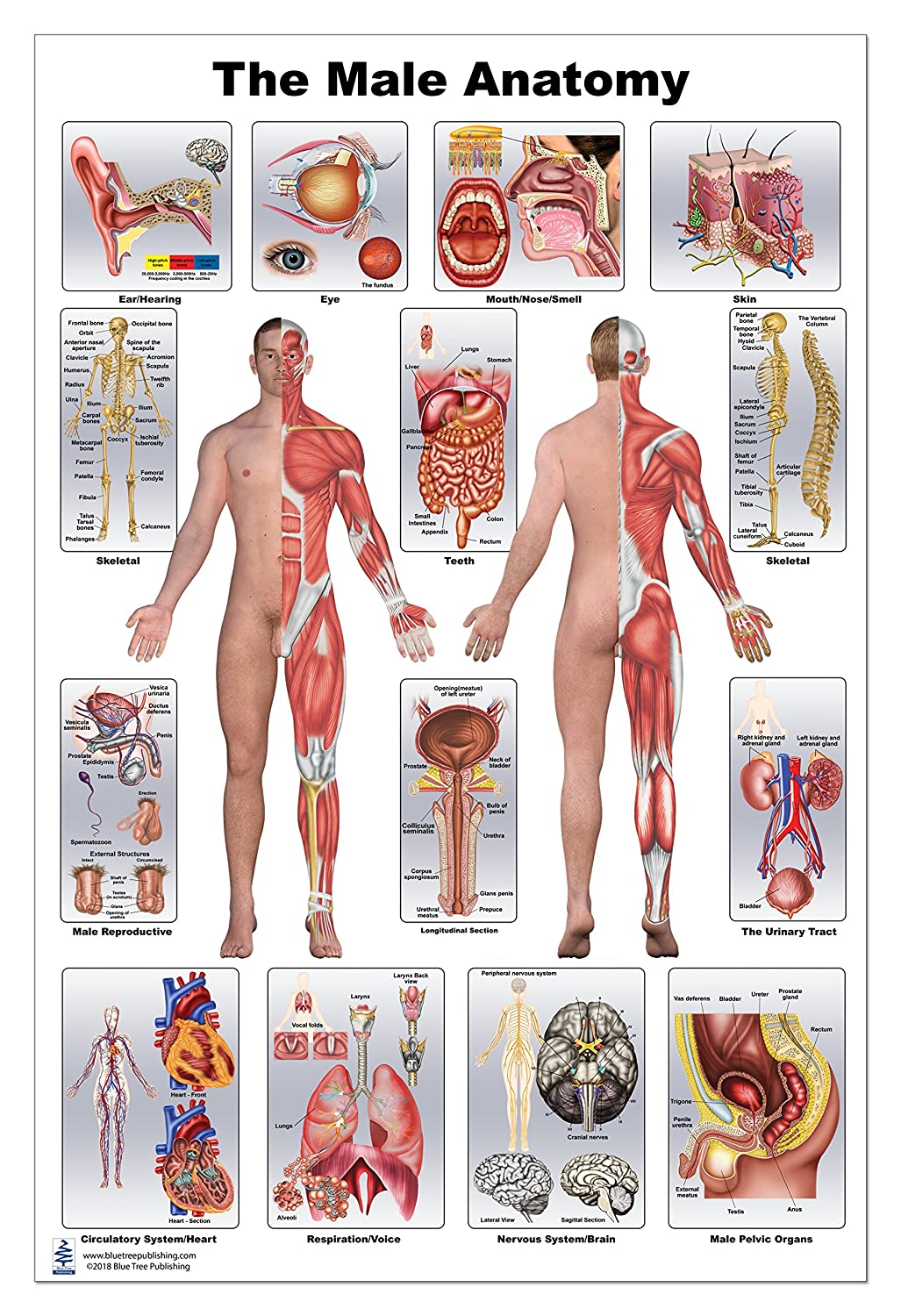 Male Anatomy Poster Amazon Industrial Scientific