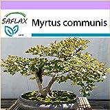 SAFLAX - Echte Myrte - Brautmyrte - 30 Samen - Myrtus