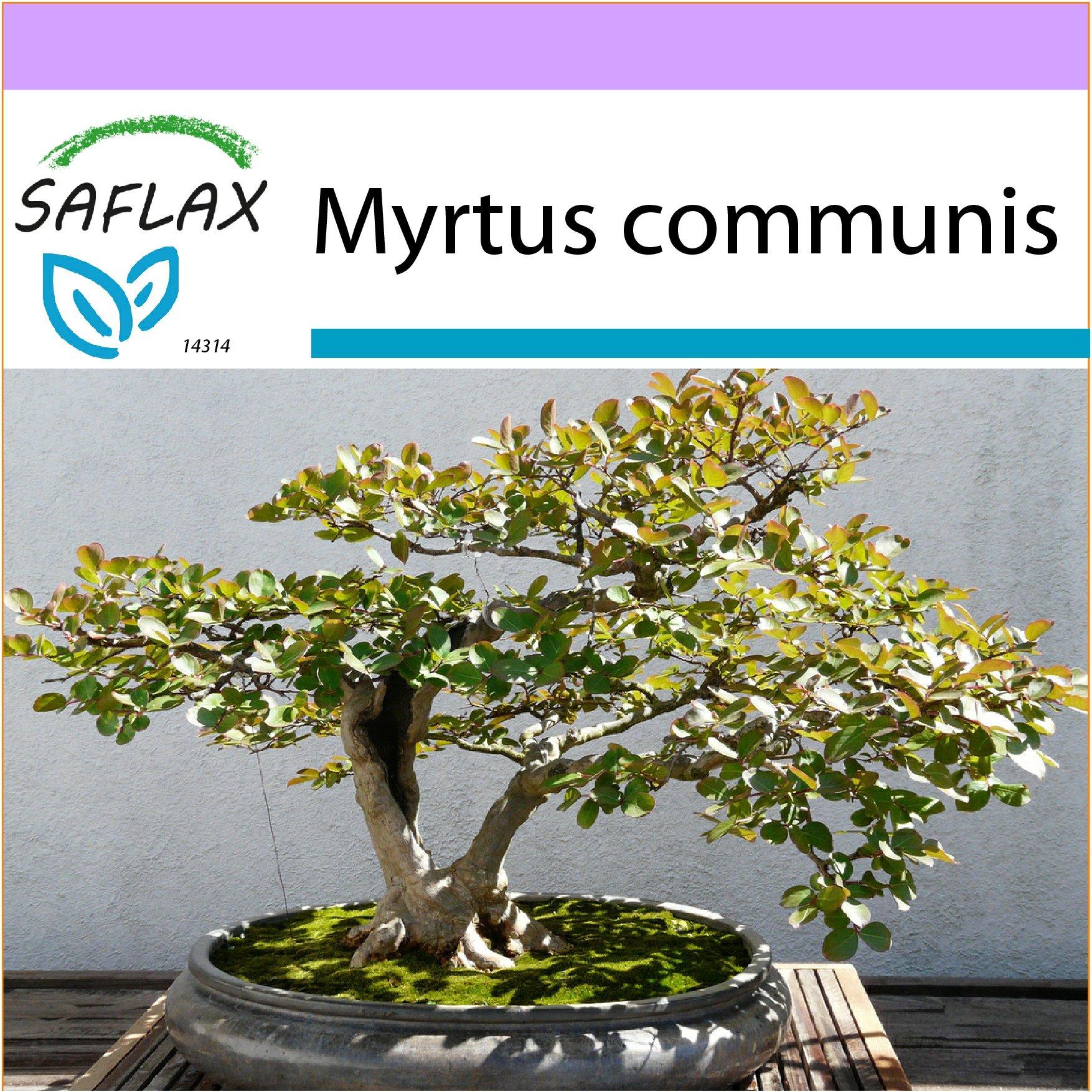 SAFLAX Murraya paniculata syn Bonsai Orangen-Jasmin 12 Samen exotica Garden in the Bag
