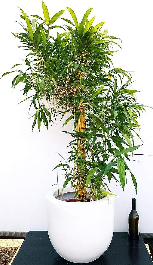 Piante Da Appartamento Bambu.Bambu Da Appartamento Gigante In Vaso Resina Pianta Vera Amazon