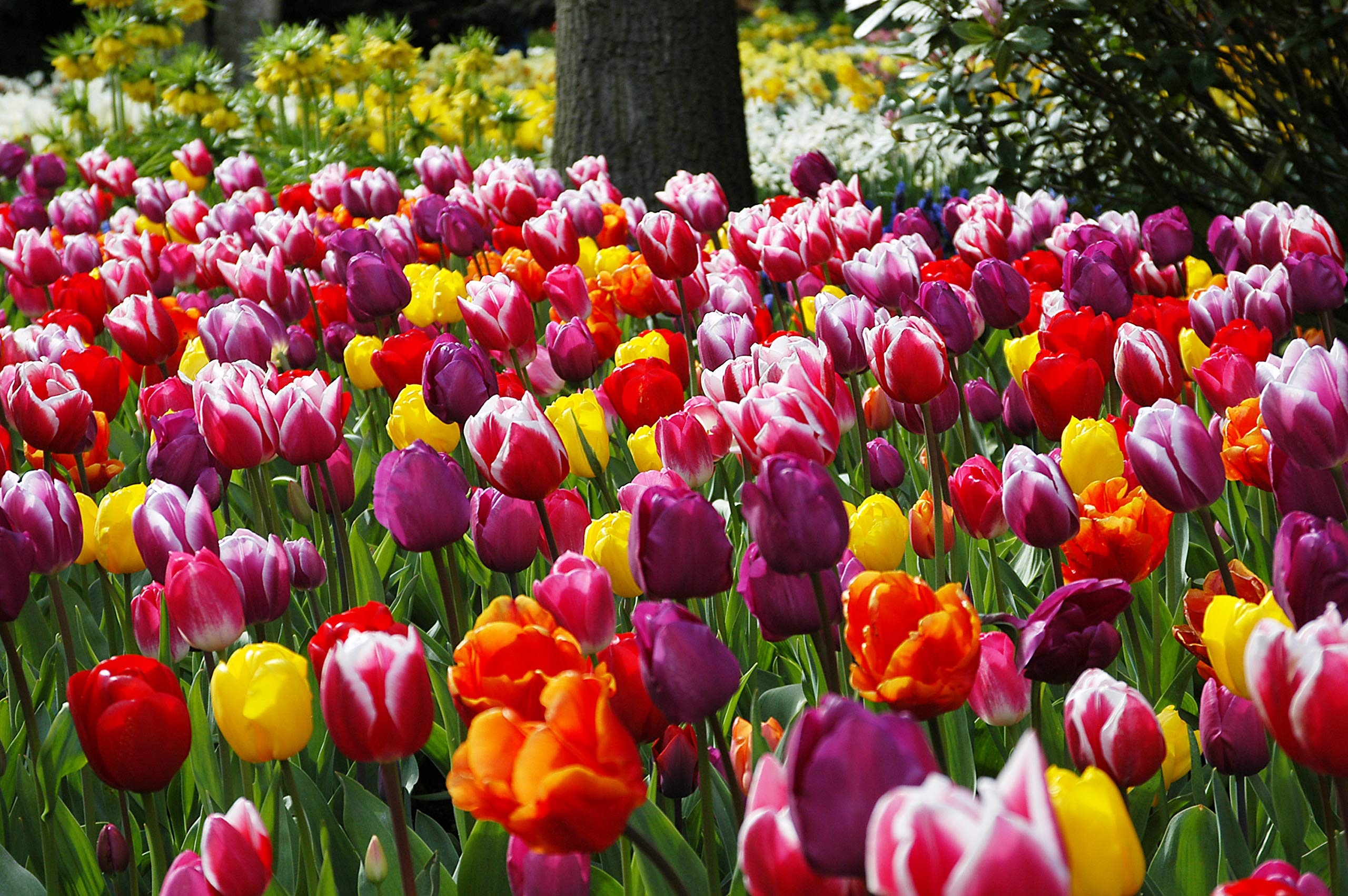 Extra Large Bulb Size - 50 Dutch Grown Tulip Bulbs - Mid-Spring Flowering - Fall Planting - Triumph Tulip - Mixed Colours by Eden Bulbs