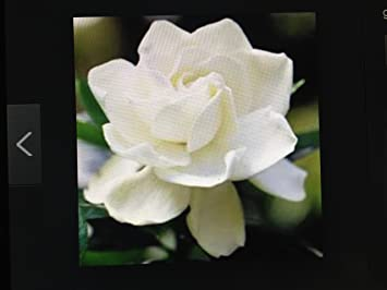 Charmant Miami Supreme Gardenia, Jasminoides, Well Rooted In A 4 Inch Pot