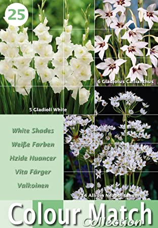Colour collection summer flowering bulbs white 25 bulbs amazon colour collection summer flowering bulbs white 25 bulbs mightylinksfo