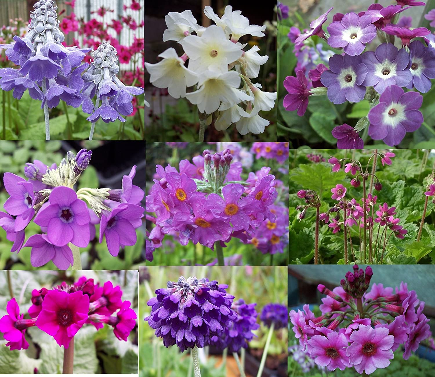 9 X plant woodland Primula collection garden ready Peninsula Primulas