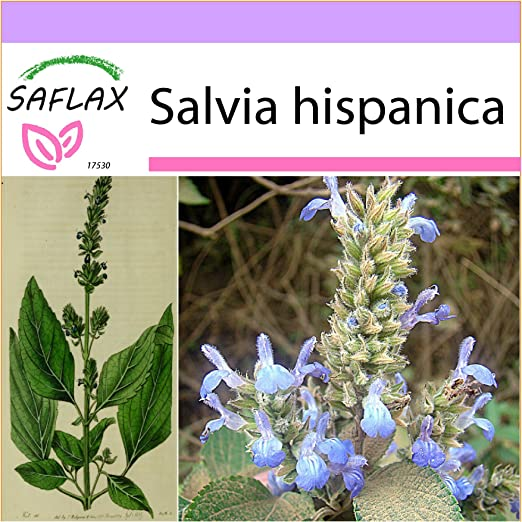SAFLAX - Chía - 500 semillas - Salvia hispanica: Amazon.es ...
